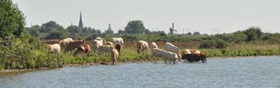 ws-molen-koeien-drinken